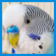 Для волнистых попугаев